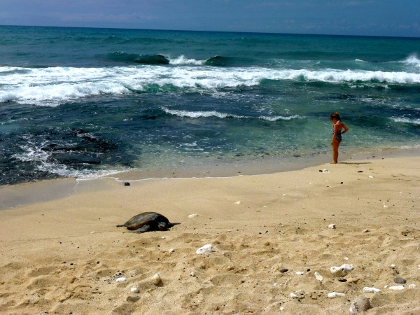 Turtle are a frequent siting on the beach at Four Seasons Hualalai