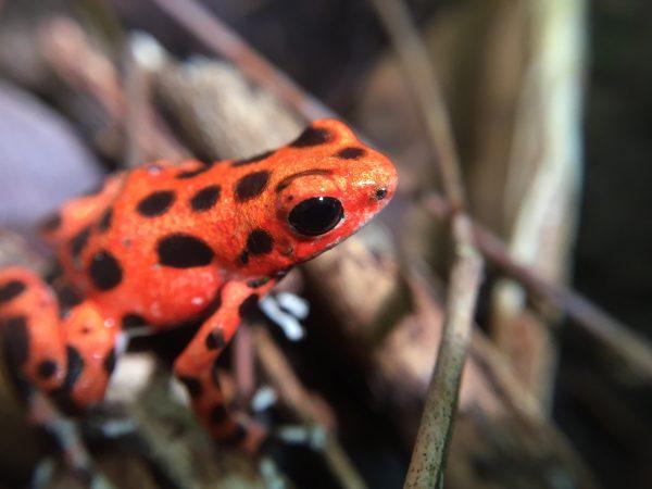 Panama frog