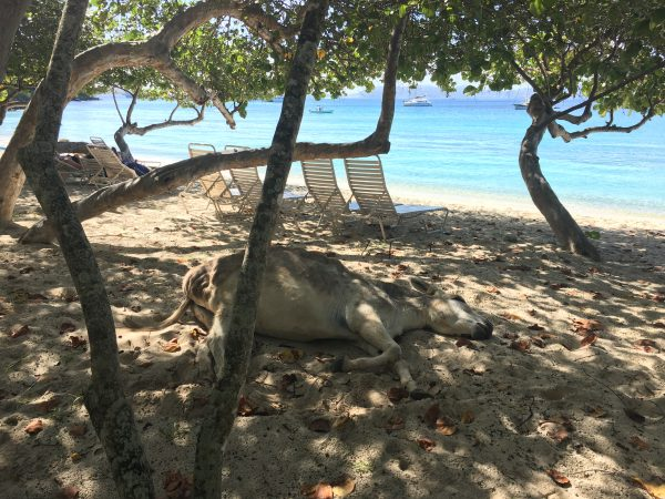 Donkey naptime at Caneel Bay