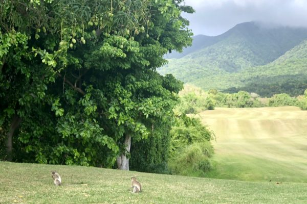 Monkeys at the Four Seasons Nevis