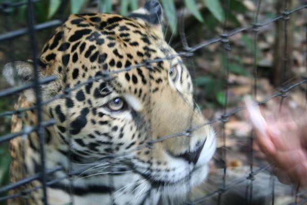 Tiger in Belize