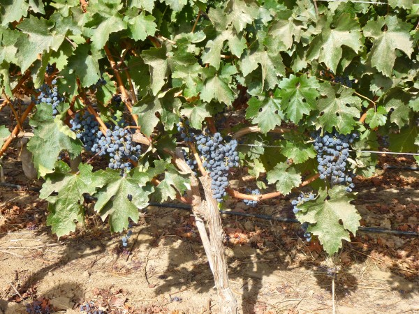 Harvest time at Vina VIK