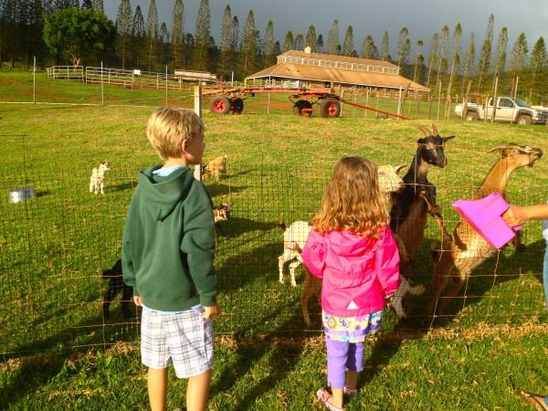 Petting farm at the Lodge at Koele