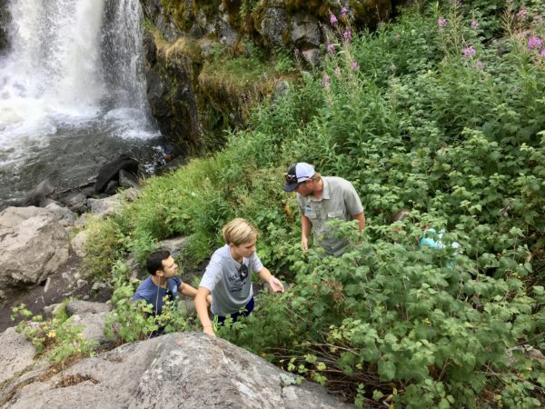 Huckleberry search in Yellowstone National Park