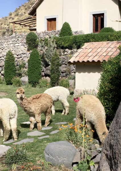 Alpacas at Belmond Las Casitas