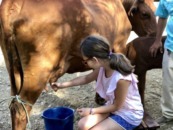 Milking the cows at the farm at Morgan's Rock